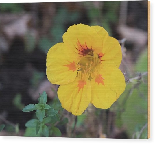 Nasturtium And Thyme Wood Print