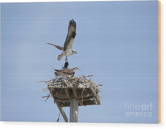 Nesting Osprey In New England Wood Print