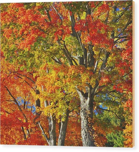 New England Sugar Maples Wood Print