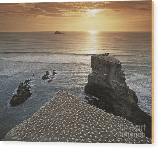 Wood Print featuring the photograph new zealand gannet colony at muriwai beach ,gannet fly from Muri by Juergen Held