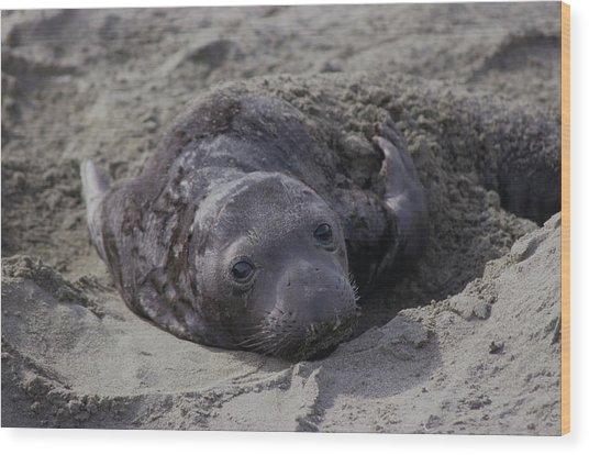 Newborn Northern Elephant Seal Pup Wood Print