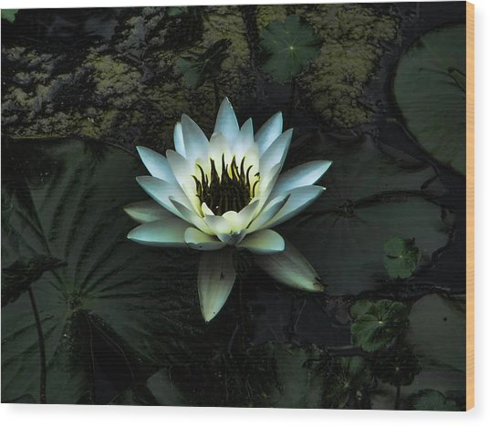 Night Lily Wood Print by Laurie Prentice