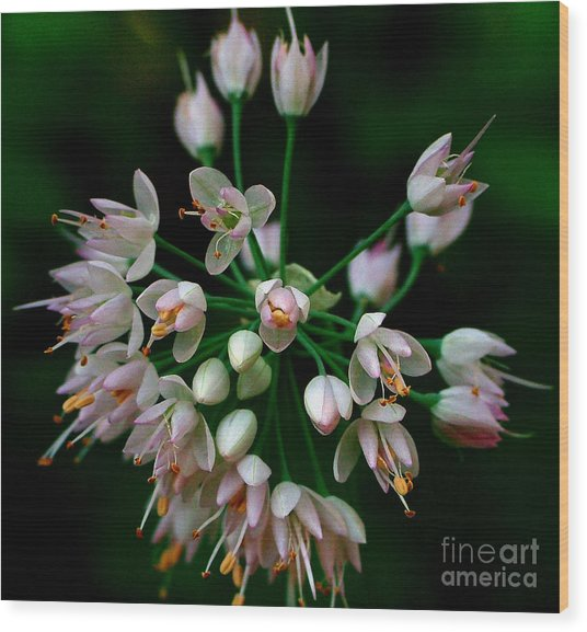 Nodding Onion Wood Print