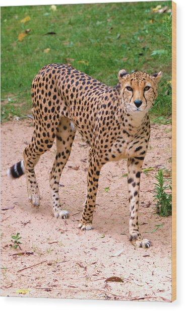 North African Cheetah Wood Print