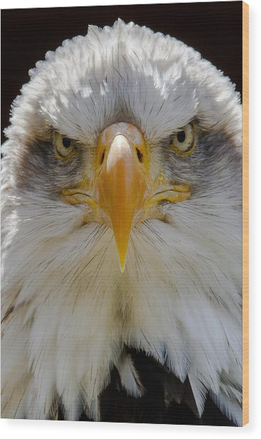 North American Bald Eagle  Wood Print