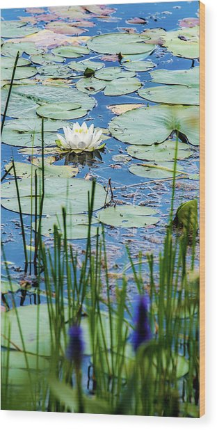 North American White Water Lily Wood Print