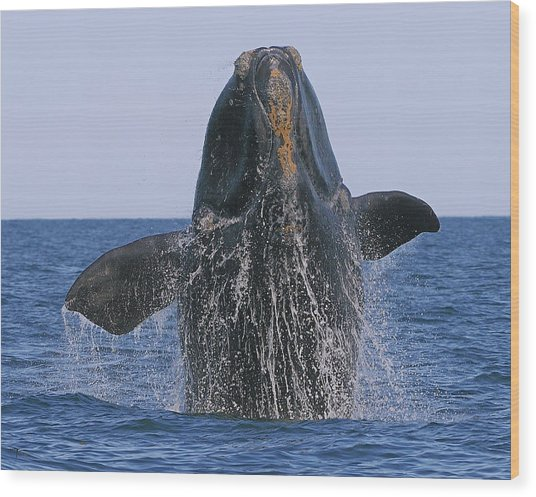 North Atlantic Right Whale Breaching Wood Print