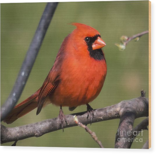 North Cardinal Wood Print by Ricky L Jones