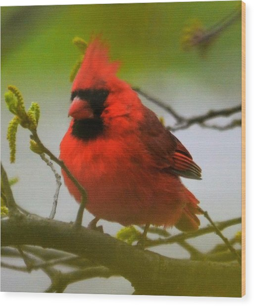 North Carolina Cardinal Wood Print
