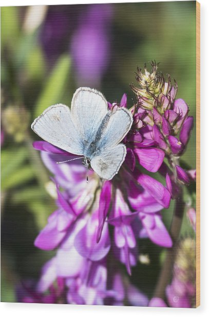 Northern Blue Butterfly Wood Print