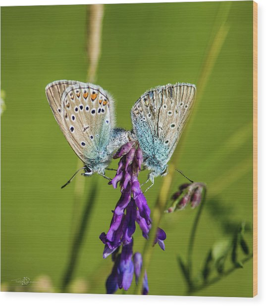 Northern Blue's Mating Wood Print