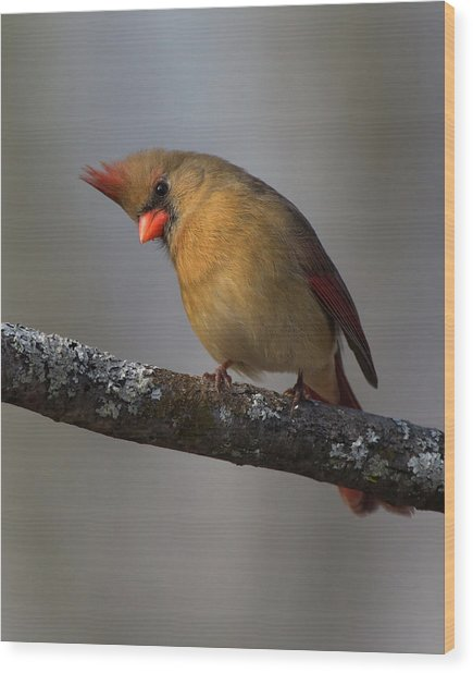 Northern Cardinal 4 Wood Print