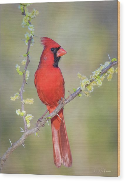 Northern Cardinal Cfh175894 Wood Print