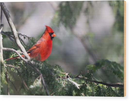 Northern Cardinal Red Wood Print
