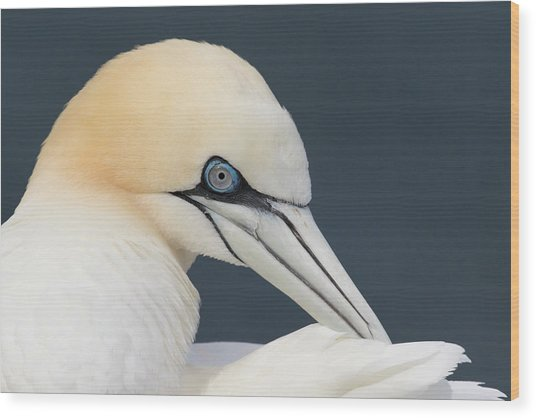 Wood Print featuring the photograph Northern Gannet At Troup Head - Scotland by Karen Van Der Zijden