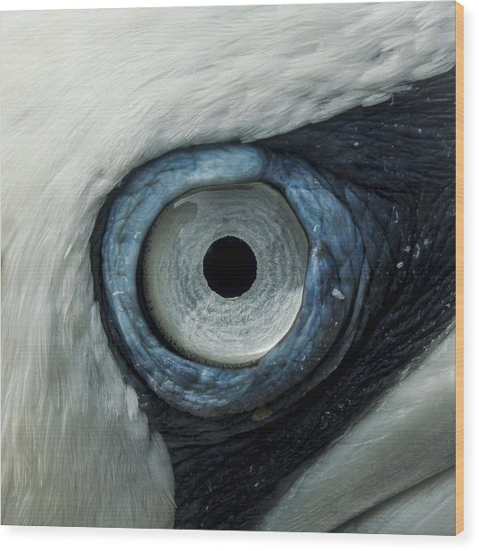 Northern Gannet Eye Wood Print