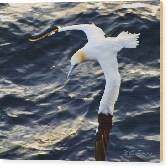 Northern Gannet Looking For A Meal Offshore Wood Print by Bill Perry