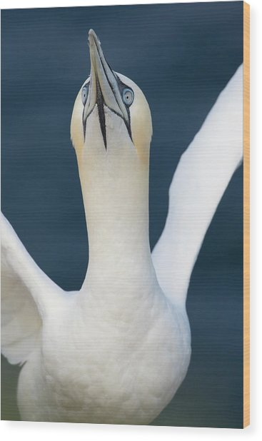 Wood Print featuring the photograph Northern Gannet Stretching Its Wings by Karen Van Der Zijden