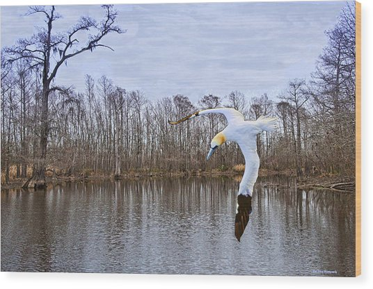Northern Gannett In The Marsh  Wood Print by Bill Perry