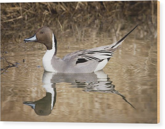 Northern Pintail Drake Wood Print