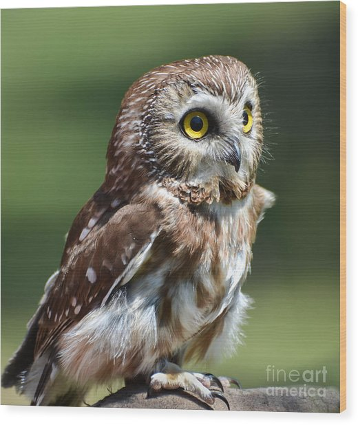 Northern Saw Whet Owl Wood Print