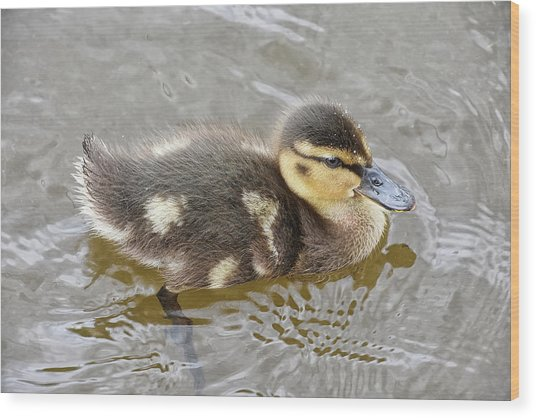 Not So Ugly Duckling Wood Print
