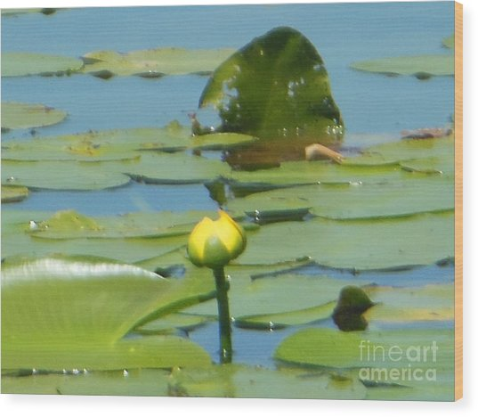 Nuphar Lutea Yellow Pond Wood Print