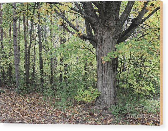 October Trees Wood Print