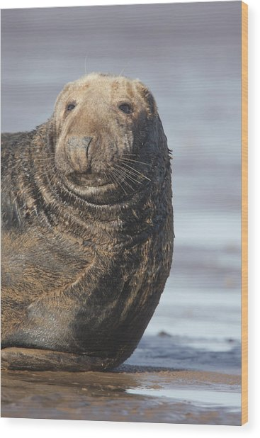 Old Atlantic Grey Seal On The Beach Wood Print