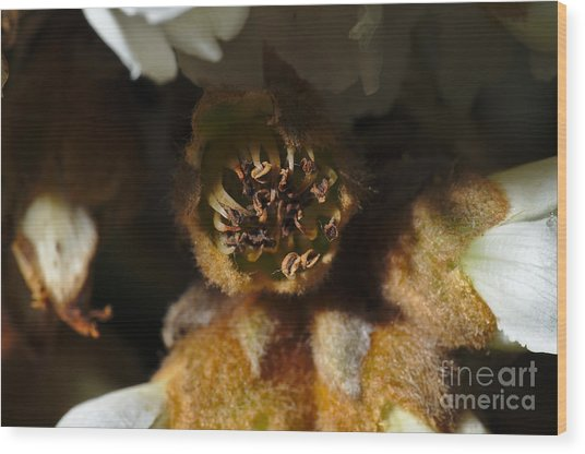 Old Loquat Tree Flower Wood Print