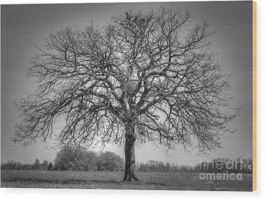 Old Oak Wood Print