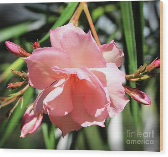 Oleander Mrs. Roeding 3 Wood Print