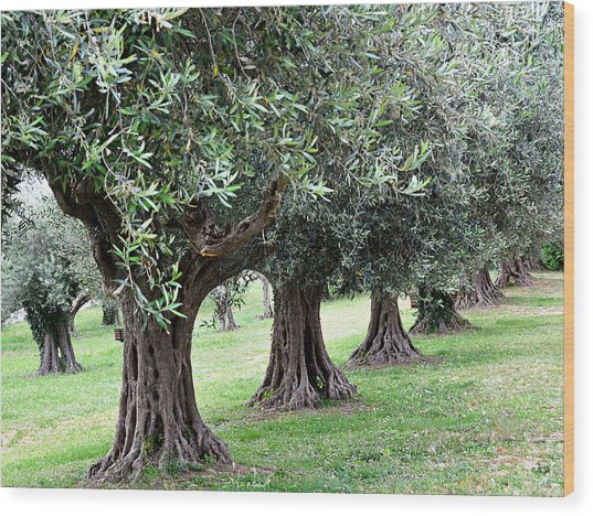 Olive Trees In Umbria Wood Print by Marion McCristall