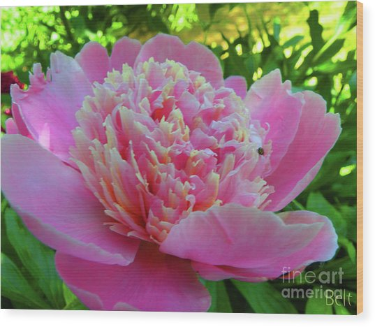 One Of The Peony Sisters Of Nebraska City  Wood Print by Christine Belt