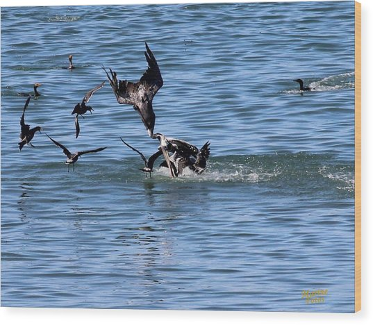 One Pelican Diving  Wood Print