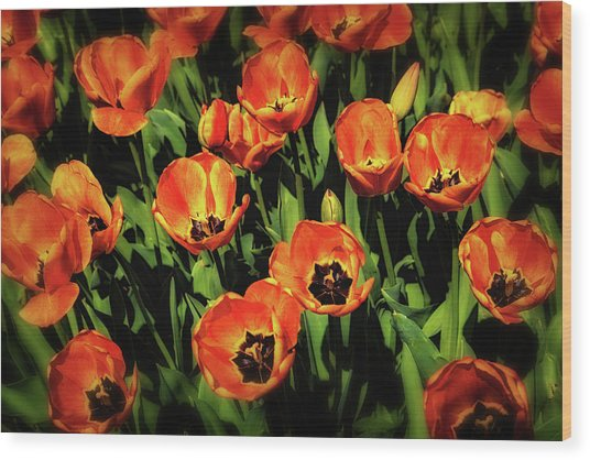 Open Wide - Tulips On Display Wood Print