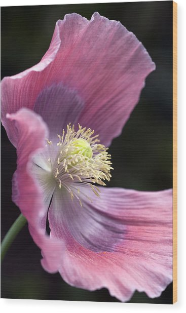 Opium Poppy - Papaver Somniferum Giganteum Wood Print