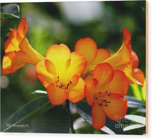 Wood Print featuring the photograph Orange Bells  by Marty Gayler