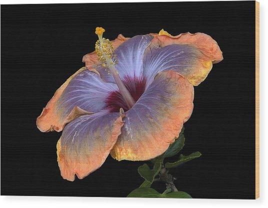 Orange-blue Hibiscus Wood Print