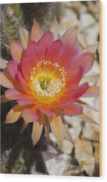 Orange Cactus Flower Wood Print