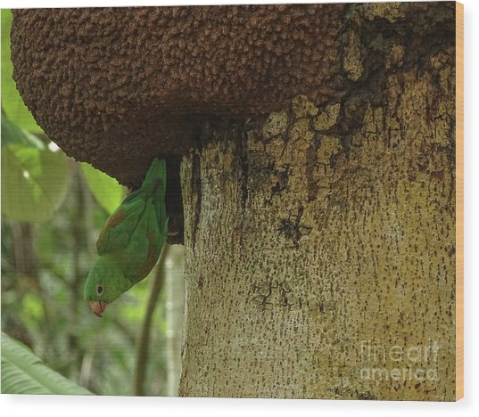 Orange -chinned Parakeet  On A Termite Mound Wood Print