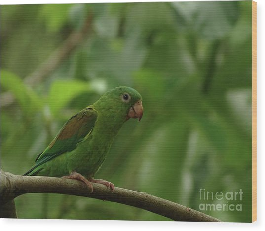 Orange-chinned Parakeet  Wood Print