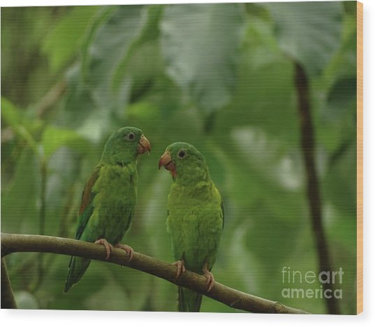 Orange-chinned Parakeets-  Wood Print