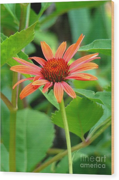 Orange Coneflower Wood Print