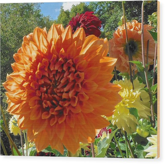 Orange Dahlia Suncrush  Wood Print