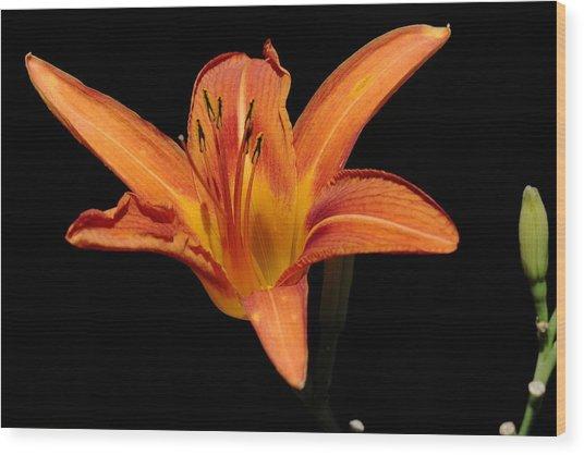 Orange Day-lily Wood Print