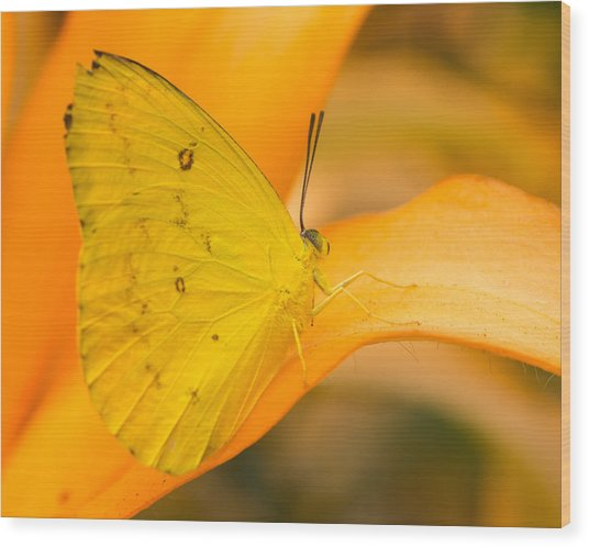 Orange Emigrant Butterfly Wood Print