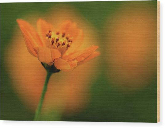 Orange Flower Wood Print