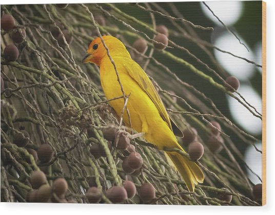 Orange Fronted Yellow Finch Panaca Quimbaya Colombia Wood Print