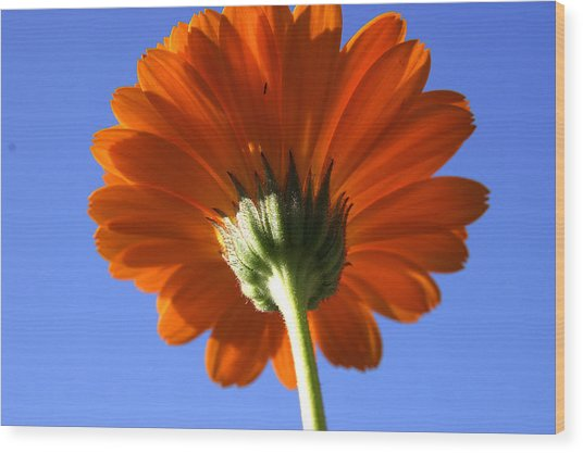 Orange Gerbera Flower Wood Print